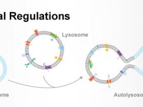 艾美捷分享会-3:溶酶体调控最新进展
