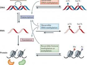 RNA甲基化(m6A)研究—最前沿表观遗传研究热点