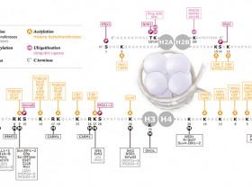 组蛋白H3/H4多重甲基化乙酰化检测—组蛋白H3/H4修饰多重检测试剂盒