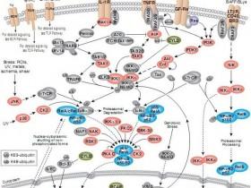 转录因子NF-κB活性检测方案—NF-κB(p65)/ NF-κB(p50)活性分析试剂盒