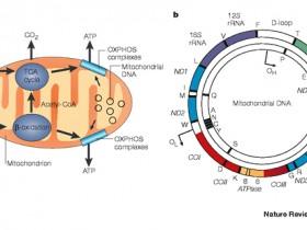 线粒体DNA(mtDNA)提取方案—细胞/组织线粒体DNA提取试剂盒