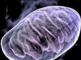 线粒体DNA不能通过父系遗传的秘密