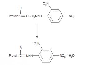 蛋白羰基(Protein Carbonyl )检测试剂盒—蛋白氧化损伤研究伴侣
