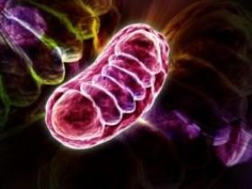 HSP60缺失线粒体(mitochondria)控制干细胞命运:HSP60抗体、线粒体研究工具推荐