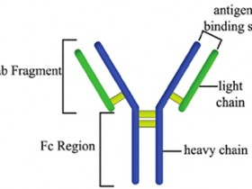 IPkine®系列轻链和重链特异性抗体-有效避免IP实验干扰