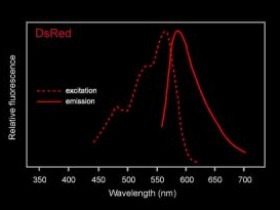 红色荧光蛋白RFP (DsRed)-高灵敏度RFP标签抗体