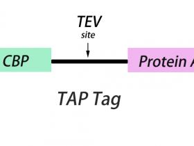 串联亲和纯化(TAP)-高特异性TAP标签抗体挑选指南
