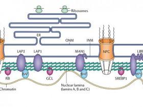 核内参Lamin B1-wb实验的好选择核纤层蛋白B1