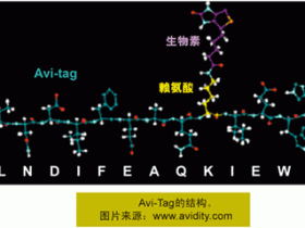 Avi标签抗体-卓越不凡的Avi-Tag标签抗体