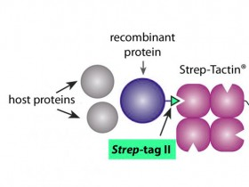 Strep Tag II抗体:新型Strep II标签让蛋白纯化更高