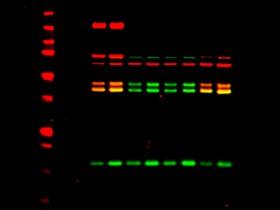 越来越流行的荧光免疫印迹(Fluorescent Western Blotting)