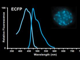 ECFP抗体推荐-青色(蓝绿色)荧光蛋白ECFP标签抗体