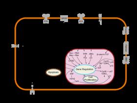 c-Jun 抗体& JNK抗体磷酸化抗体,玩转信号转导!