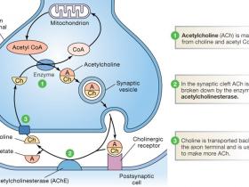 乙酰胆碱酯酶(AChE)活性检测试剂盒