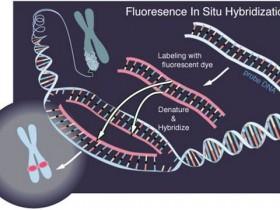 荧光原位杂交(FISH)技术检测miRNAs