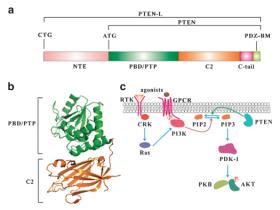 肿瘤抑制基因PTEN免疫学功能的新发现