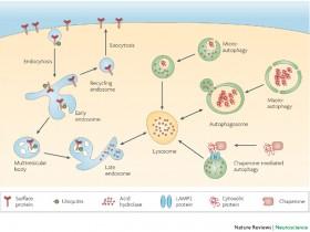 溶酶体染色试剂盒(Lysosomes),染色长效又明亮(活细胞)