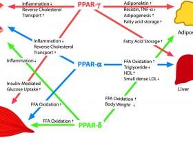 过氧化物增殖激活受体(PPAR)α 特异性高效多用途抗体