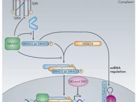 全效信号转导蛋白Smad2 多克隆抗体