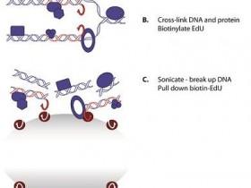 iPOND之用DNA作为诱饵捕获蛋白质