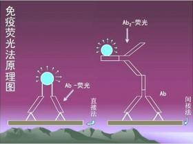 免疫荧光的原理与操作介绍