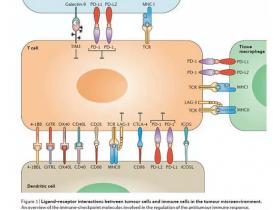 """重大发现nature:免疫疗法PD-L1的""""伙伴分子"""""""