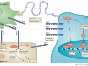 CDH2/N-cadherin(N-钙粘蛋白)特异性抗体推荐