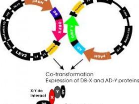 关于酵母双杂交系统你需要知道这些