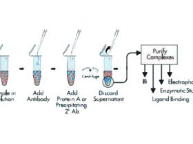 免疫沉淀及衍生实验的注意事项与疑难问题