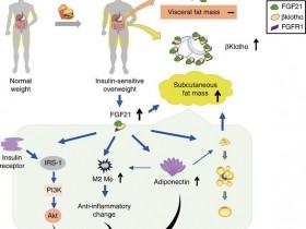 健康蛋白:成纤维细胞生长因子21(FGF21) 细胞因子