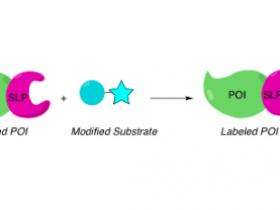 自我标记蛋白(self-labeling proteins,SLPs)原理及应用