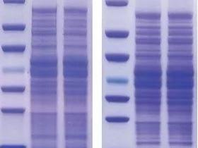 SDS-聚丙烯酰胺凝胶电泳检测蛋白大小、纯度及浓度