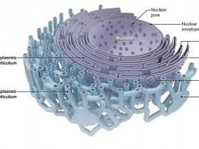 活细胞内质网(ER)染色试剂盒:高特异性追踪染料
