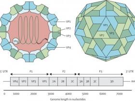 用的人都说好,肠道病毒71-VP1(EV71-VP1)蛋白高品质抗体