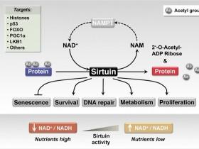 去乙酰化酶SIRTs活性/抑制分析试剂盒更精确,灵敏,可靠