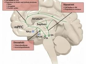 光遗传学技术发现产生爱情的神经环路