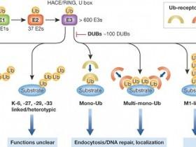 你不可能遇上比我更好的泛素(Ubiquitin, Ub)抗体-克隆号VU-1.宣