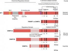 【DNMT第二波】DNA甲基转移酶(DNMTs)定量试剂盒