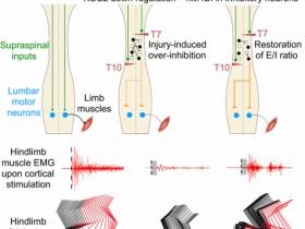 《Cell》:惊!脊髓损伤有被恢复的可能?