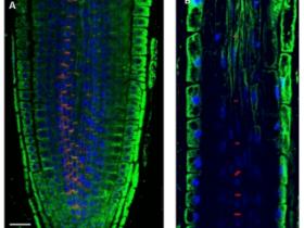Agrisera植物内参抗体:植物和藻类内参抗体优选!