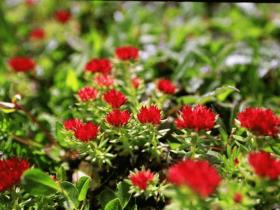 震惊!常见药用植物红景天可以提高记忆力