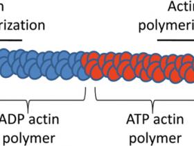actin聚合方案:肌动蛋白聚合分析生化试剂盒