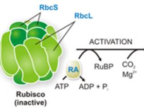 这么好的Rubisco抗体,您想要我们有