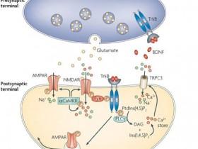 Nature文章为您推荐TrkB(酪氨酸激酶受体B)抗体