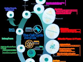 细胞周期染色分析试剂盒,分析细胞周期方便又准确