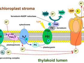 光系统I(PSI)蛋白亚基抗体,光合作用研究好帮手!