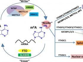 梦寐以求的RNA甲基化抗体,m6A抗体,隆重登场!
