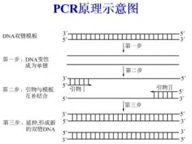 聚合酶链式反应原理及步骤