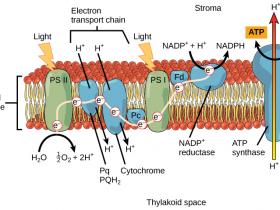 光合作用电子传递载体的相关抗体,赶快收藏吧!