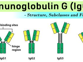 如何计数分泌小鼠IgG的B细胞?小鼠IgG的ELISpot试剂盒